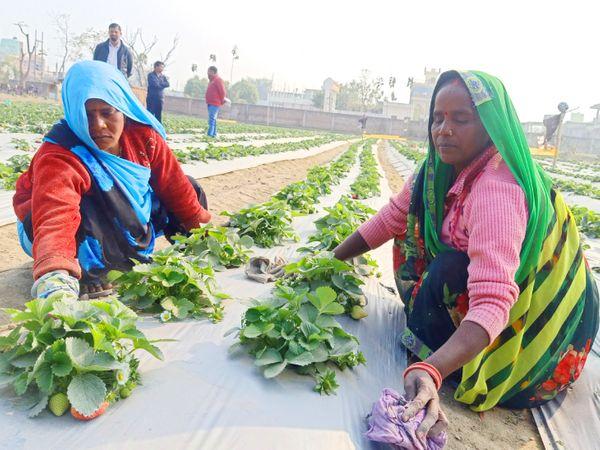 स्ट्रॉबेरी के पौधों की देखभाल बच्चों की तरह करनी होती है, इसके लिए रमेश ने सात महिलाओं को काम पर रखा है, जो इन पौधों की देखभाल करती हैं।