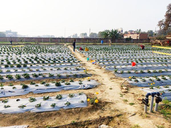 रमेश पुणे गए और वहां कई हफ्ते रहकर उन्होंने स्ट्रॉबेरी की खेती की बारीकियां समझीं, इसके बाद वाराणसी आकर खेती शुरू की।