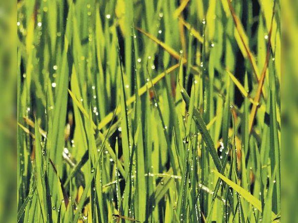माउंट आबू. हिल स्टेशन के गुरुकुल रोड पर सवेरे खेत पर उगी फसल पर ओस की बूंदे गिरी नजर आई। - Dainik Bhaskar