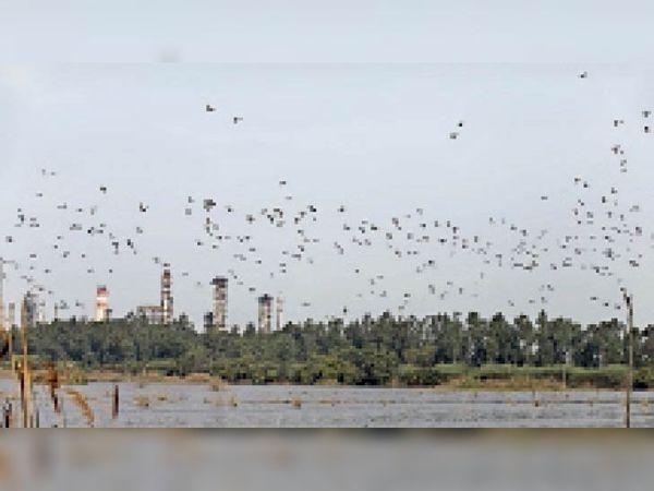 पानीपत. रिफाइनरी के पॉलिशिंग तालाब के ऊपर उड़ती पक्षियां। - Dainik Bhaskar
