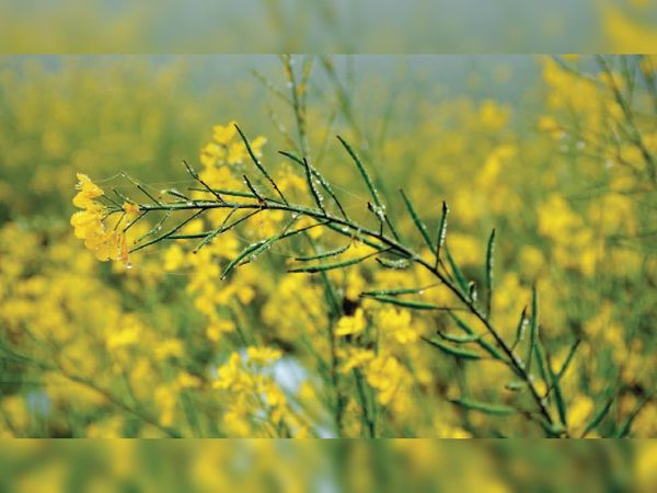 भिवानी राेड के खेतों में सरसाें की फसल पर जमी हुई ओस की बूंदें। - Dainik Bhaskar