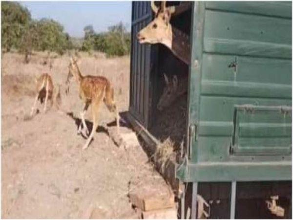 नौरादेही में बाघों के भोजन के लिए पेंच अभयारण्य से 41 चीतलों को छोड़ा गया। वाहन से उतरते चीतल। - Dainik Bhaskar