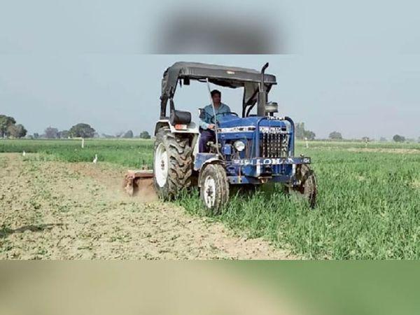 जींद जिले के गुलकनी गांव निवासी राममेहर ट्रैक्टर से अपनी गेहूं की फसल को नष्ट करता हुआ। - Dainik Bhaskar