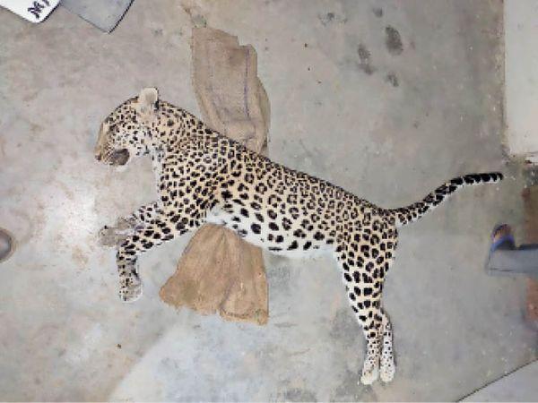 मृत मादा तेंदुआ, जो झरना आश्रम के पास मिली। - Dainik Bhaskar