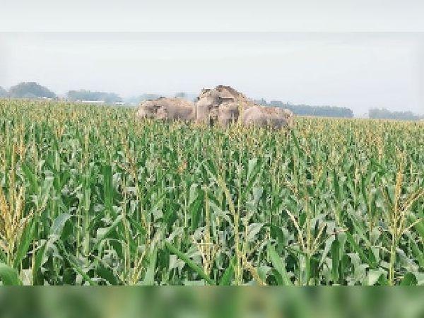 मक्के की खेत में फसल बर्बाद करता हाथियों का झुंड। - Dainik Bhaskar