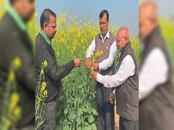 अनुसंधान क्षेत्र में फसलों का निरीक्षण करती कृषि वैज्ञानिकों की टीम। - Dainik Bhaskar
