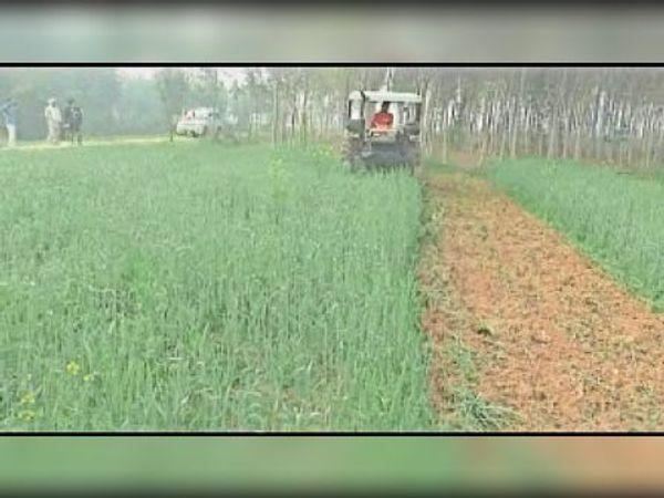 मानकपुर में खेत में खड़ी गेहूं की फसल काे ट्रैक्टर से नष्ट करता किसान। - Dainik Bhaskar