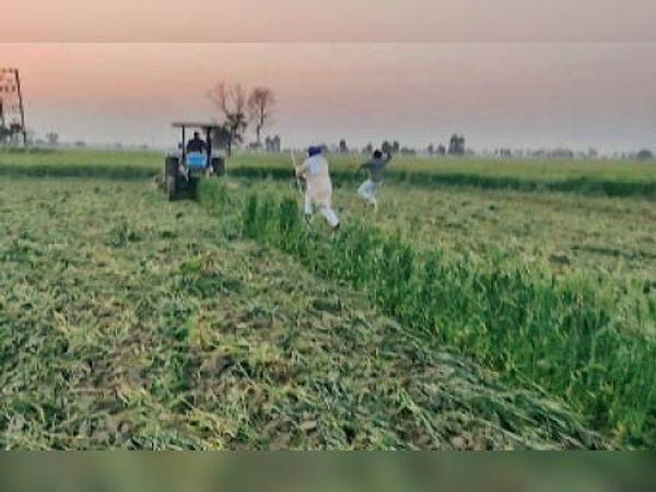 पिहोवा | खड़ी फसल पर ट्रैक्टर चलाते कर्मजीत को रोकते दूसरे किसान। - Dainik Bhaskar