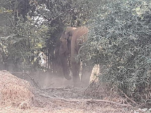 छत्तीसगढ़ के जांजगीर में अपने बच्चे के साथ पहुंची मादा हाथी जमकर उत्पात मचा रही है। इसी के चलते दो दिन पहले सराईपाली शहर में भी हंगामा हुआ था। - Dainik Bhaskar