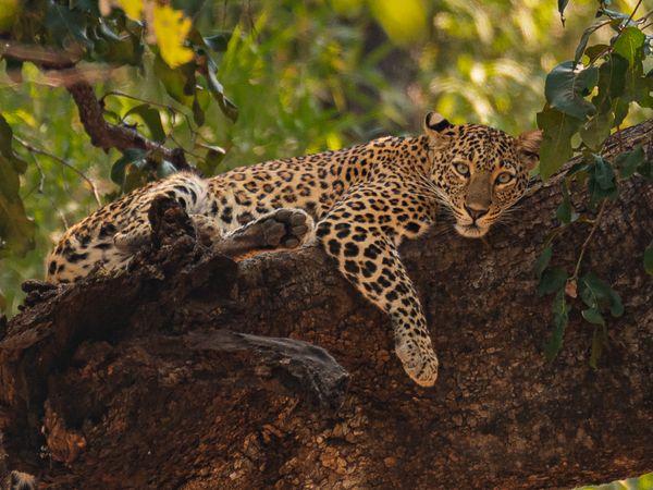 ताडोबा नेशनल पार्क में पेड़ पर आराम करता तेंदुआ। फोटोः पराग कुलकर्णी