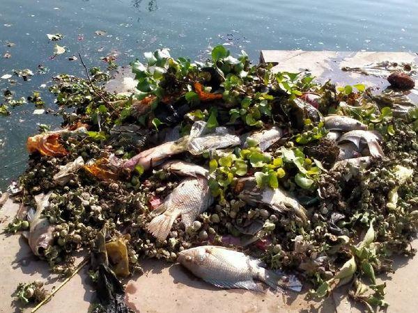 गौरी सरोवर किनारे दो दिनों से मछलियां मरी मिल रही हैं। - Dainik Bhaskar
