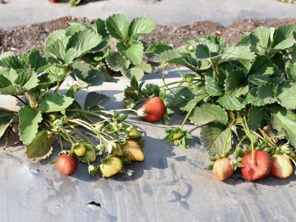 आजकल मार्केट में फ्रेश स्ट्रॉबेरी की डिमांड काफी ज्यादा है। फ्रूट डिलीवरी करने वाली कंपनियां सीधे-सीधे प्रोडक्ट खरीद लेती हैं।