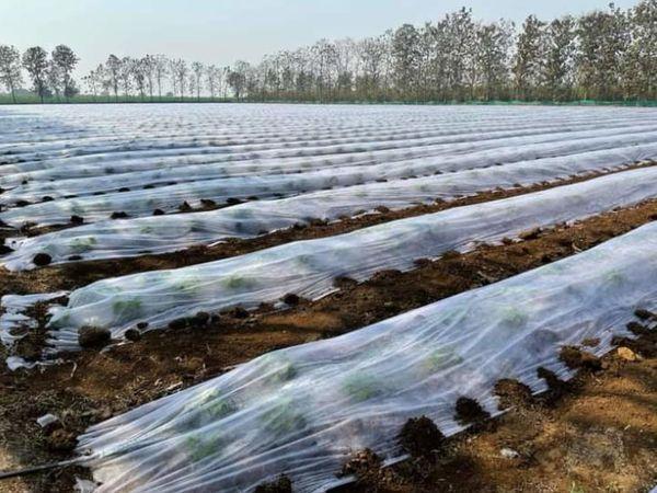 प्रवीण खीरे की खेती के लिए पॉलीप्रोपाइलीन कवर का इस्तेमाल करते हैं। इससे फसल को किसी तरह का नुकसान नहीं पहुंचता है।