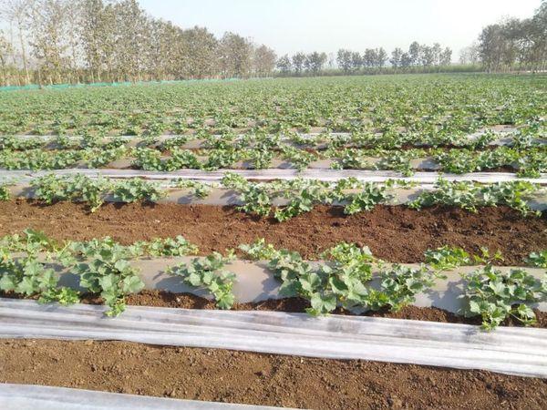 प्रवीण पटेल ने तीन साल पहले इजराइल से ट्रेनिंग लेने के बाद अपने गांव में नई तकनीक से खीरे की खेती शुरू की।