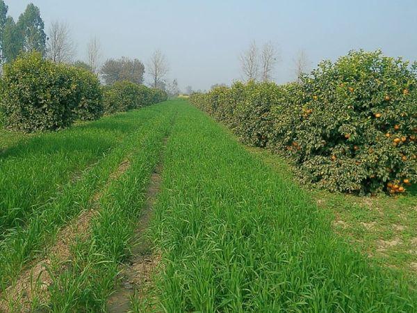 सुरेंद्र अभी 100 एकड़ से ज्यादा जमीन पर खेती कर रहे हैं। वे कपास के साथ फल, सब्जियां, धान और गेहूं उगाते हैं।
