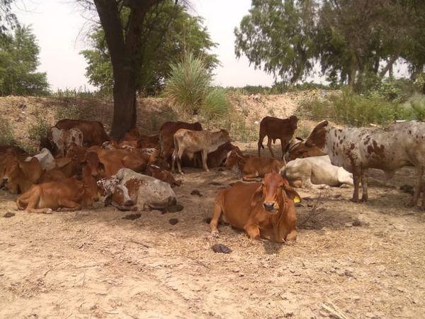 खेती के साथ-साथ सुरेंद्र पशुपालन का भी काम करते हैं। वे दूध और घी बनाकर मार्केट में सप्लाई करते हैं।