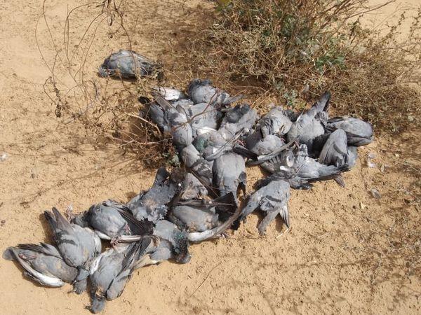 एक ही स्थान पर मृत मिले कबूतर। - Dainik Bhaskar