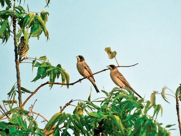 ये पक्षी हर्बल पार्क से गोंदरी घाट के बीच को नर्मदा रिपेरियन जोन में देखे जा सकते हैं। - Dainik Bhaskar