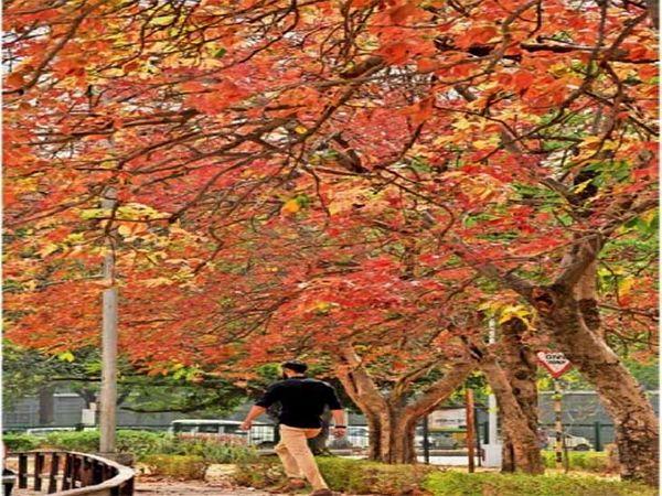 संक्रमण कारण शहर में चाहे होली मनाने पर पाबंदी लगी है लेकिन शहर में लगे पेड़ों पर रंगदार पत्ते और फूलों का राज है। - Dainik Bhaskar