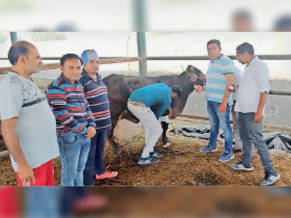 फाजिल्का में गौधन का इलाज करते हुए सोसायटी के सदस्य। - Dainik Bhaskar