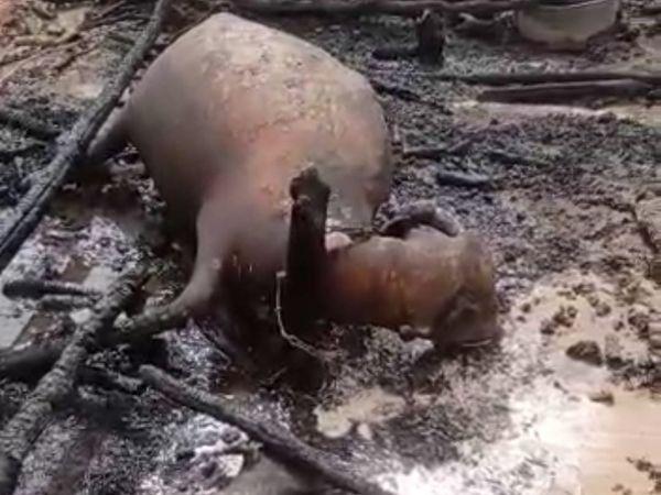 जामसर के पास धोलेरा फांटे में आग लगने से पशु जल गए। फोटो में एक पशु खूंटे से बंधा नजर आ रहा है। - Dainik Bhaskar