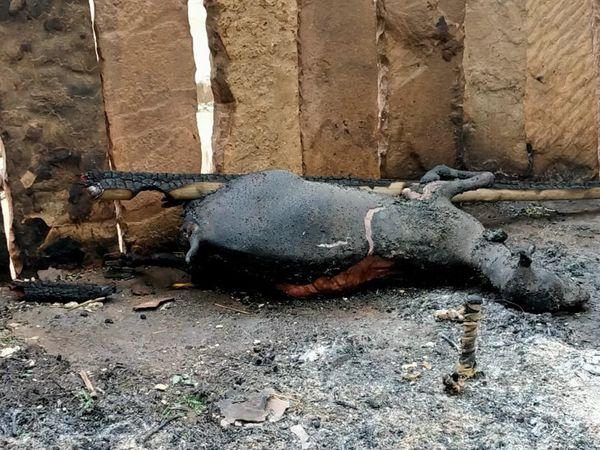 आग में चार बकरियां जल गईं। - Dainik Bhaskar