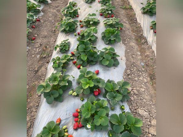 स्ट्रॉबेरी की खेती बहुत मुश्किल नहीं है। सिर्फ 30×40 स्क्वायर फीट जगह में 500 स्ट्रॉबेरी के पौधे लगाए जा सकते हैं।