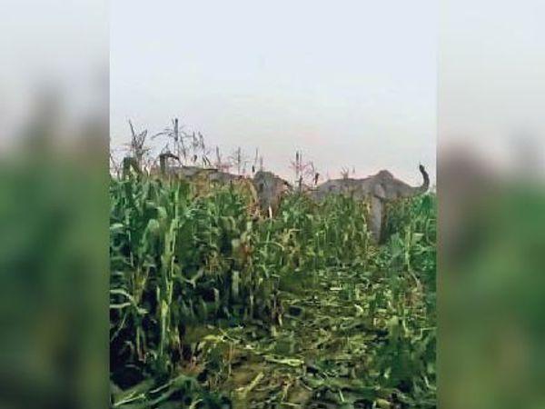 मुलाबारी गांव के पास मक्का खेत में पहुंचा हाथियों का झुंड। - Dainik Bhaskar