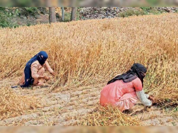 गांव मादुवाला में गेहूं की कटाई करतीं महिलाएं। - Dainik Bhaskar