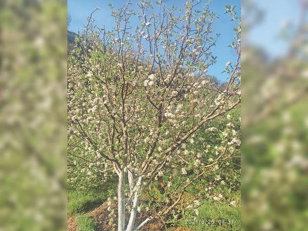 सेब के बगीचों में फूलों के खिलने की प्रक्रिया शुरू हो गई है। - Dainik Bhaskar