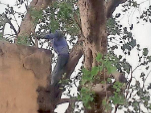 बाड़ी. पेड़ पर चढ़ा युवक। - Dainik Bhaskar