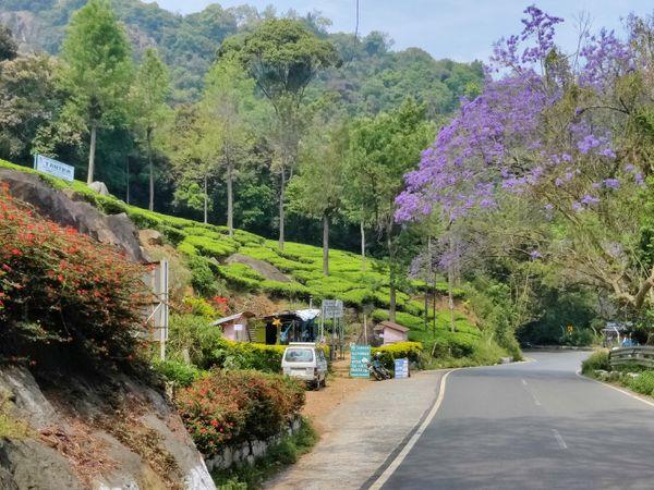 अपनी खूबसूरती के साथ-साथ ऊटी चाय बागानों के लिए भी जाना जाता है। देश-विदेश से आने वाले टूरिस्टों के लिए यह फेवरेट स्पॉट है।