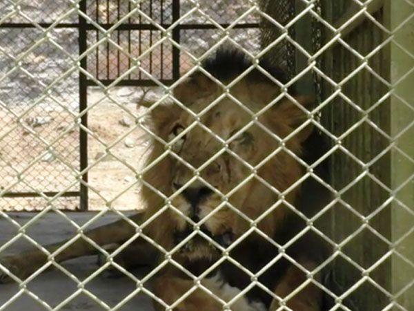 धीर से पहले कोई शेर 20 साल की उम्र तक जिंदा नहीं रह पाया था।