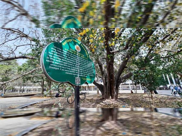 In Chandigarh, more than 100 years old trees are still lukewarm, giving their travel moments, under the broad trunk and long branches to the people   चंडीगढ़ में100 साल से ज्यादा उम्र के पेड़ अभीभी गुनगुना रहे अपने सफर के पलों को, चौड़े तने और लंबी डालियोंके नीचे लोगों को दे रहे सुकून