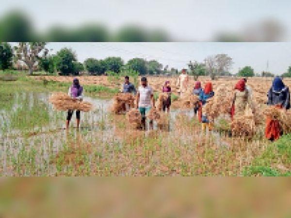 खेत में नहरी पानी भरने से काटी गई फसल को उठाते किसान। - Dainik Bhaskar