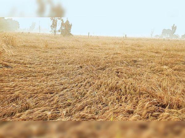 अबोहर में मंगलवार देर शाम को हुई बारिश व आंधी से खराब हुई गेहूं की फसल - Dainik Bhaskar