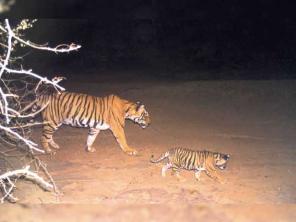 सरमथुरा के जंगल में टाइग्रेस टी 117 अपने शावक के साथ कैमरे में हुई ट्रेस। - Dainik Bhaskar