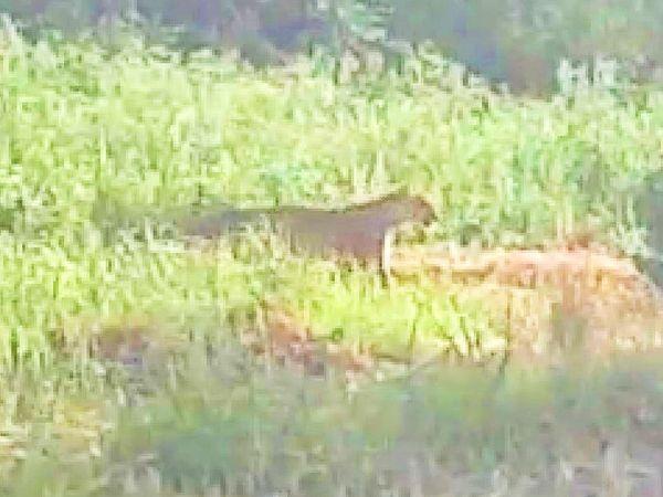पानी की तलाश में रिहायशी इलाके में घुस आया तेंदुआ।