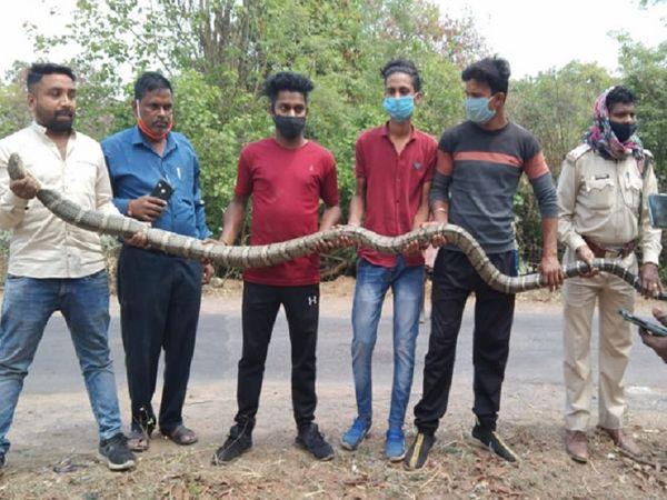 DFO प्रियंका पांडे ने बताया कि पहले भी सांप, अजगर और कोबरा निकलते रहे हैं।  लेकिन इतने बड़े साइज का कोबरा पहली बार मिला है।
