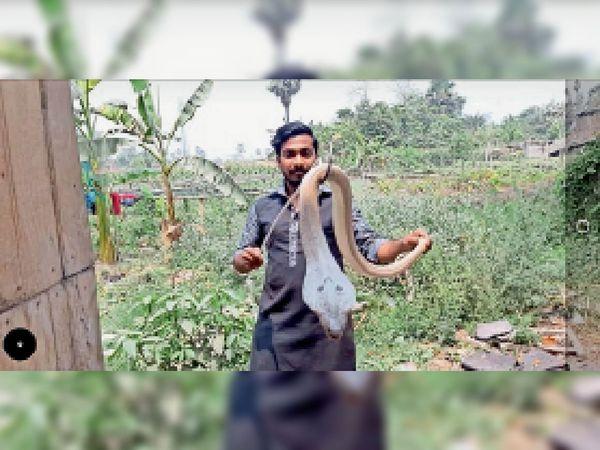 रविवार को ऐसे पकड़ा कोबरा। - Dainik Bhaskar