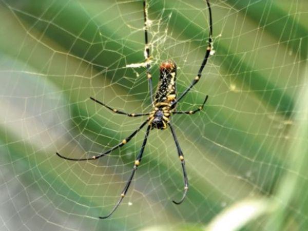नेफिला क्लेविप्स नामक मकड़ी ज� - Dainik Bhaskar