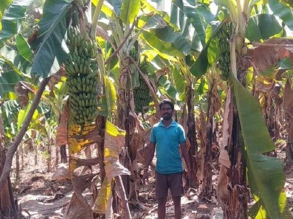 लॉकडाउन में केले की खेती करने वाले किसान परेशान है।  उनका फसल तैयार है, लेकिन वह मंडियों में बेच नहीं पा रहा है।