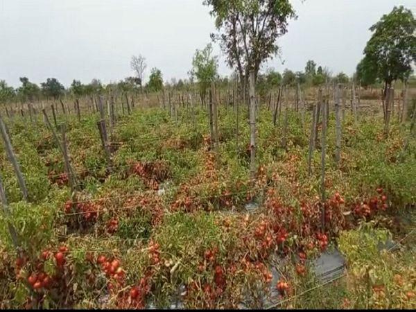 किसानों के खेतों में टमाटर की फसल बककर तैयार है।  लेकिन समय से नहीं टूटने की वजह से खेतों में ही खराब हो रही है।