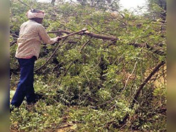 सिकराय   अंधड़ से बिजली लाइन पर गिरे पेड़ों को काटने में जुटा बिजली निगम का कर्मचारी। - Dainik Bhaskar