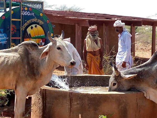 टांकें से पानी पीता गोवंश - Dainik Bhaskar