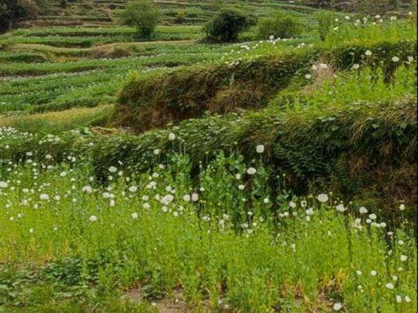सरकारी और निजी जमीन पर लगी अफीम की खेती। - Dainik Bhaskar