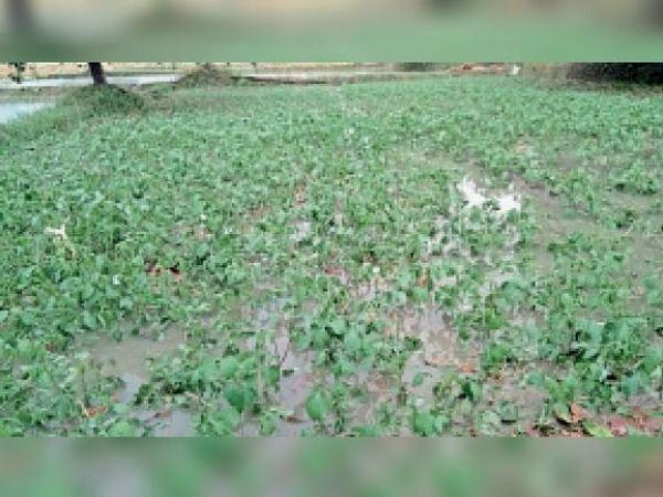 जलमग्न हुआ मूंग फसल - Dainik Bhaskar