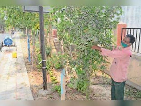 पौधे की देखभाल करते पर्यावरण मित्र अनिल राम चंद्रवंशी। - Dainik Bhaskar