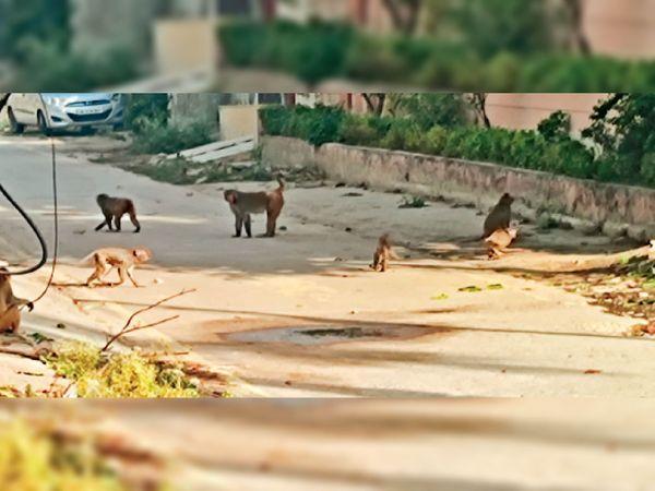 बहादुरगढ़ में सड़कों में घूमते बंदर। - Dainik Bhaskar
