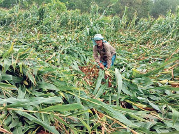 मंगलवार को डोरियारे गांव में मकई की बर्बाद फसल को दिखाते किसान। - Dainik Bhaskar